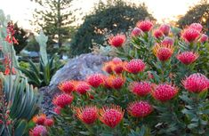Leucospermum-Scarlet-Ribbon-Pincushion It would be nice to have some colour through native plants on the street side garden Plants, Australian Plants, Drought Tolerant Shrubs, Australian Native Plants, Garden Shrubs, Native Garden, Dry Garden, Mediterranean Landscaping, Australian Garden