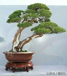 Juniper Bonsai, Bamboo Plants, Mini Plants, Bonsai Trees, Greenhouses, Motorcycles, Gardening, Cars, Natural