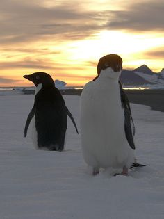 That is a lovely shot with the low sun behind them! Penguin World, Penguin Art, Penguin Love, Beautiful Birds, Animals Beautiful, Cute Animals, Wild Creatures, All Gods Creatures, Beautiful Creatures