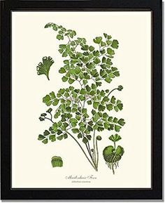 Vintage Botanical Art Print: Maidenhair Fern - Ready to Frame 5x7 8x10 11x14. Antique botanical prints meticulously restored from 19th century illustrations. Botanical Art at its absolute finest. Money Back Guarantee. • Available in 5x7, 8x10 and 11x14 sizes. Optional mats. • Printed on high quality archival paper using pigment-based inks. • Standard print and mat sizes for ease of framing. • Handmade in the USA. **Frames are not included but shown to illustrate just how beautiful the...