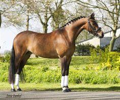 Sporthorses - Pony's te koop - Chimène V