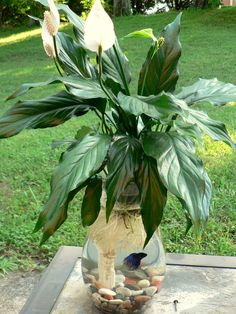 The Easiest Way to Make a Betta Fish & Peace Lily Aquarium in a Vase. Indoor Water Garden, Indoor Plants, Water Gardens, Indoor Gardening, Plante Anthurium, Easy House Plants, Betta Fish Tank, Beta Fish, Fish Tanks