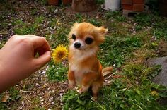 A dandelion for you, sweet Chihuahua <3