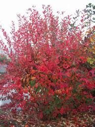 Red Chokeberry bush http://ncdstore.conservect.org/images/detailed/0/8_Red_Chokeberry_4.jpg
