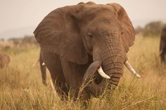 A Zombie Gene Protects Elephants From Cancer