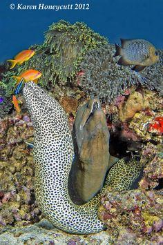 33 Gymnothorax favagineus (Honeycomb Moray) and G. Sea Fish, Sea World, Maldives, Animals, The Maldives, Animales, Animaux, Animal, Animais