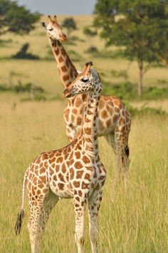 What You Don't Know About Giraffes Might Move You To Tears