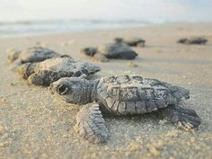 Is there anything more adorable than a baby sea turtle? Here, we& rounded up the best places to see sea turtle nests and watch tiny turtles make their way to the ocean for the very first time! Sea Turtle Nest, Baby Sea Turtles, Tiny Turtle, Turtle Love, Turtle Beach, Sea Turtles Hatching, World Turtle Day, Marco Island, Tortoises