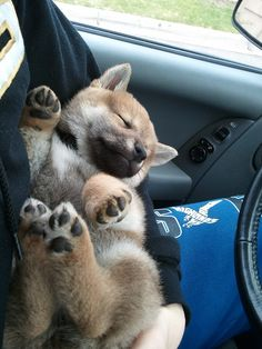 Shiba Inu sleeping on the ride home - I've always wanted one of these dogs.