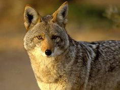 the coyote played a major role in Native American mythology. The coyote was a trickster. The natives probably attributed him to a trickster due to the coyote's agility. Hunting Calls, Coyote Hunting, Hunting Baby, Pheasant Hunting, Archery Hunting, Coyotes, Desert Coyote, Coyote Trapping, Native American Mythology
