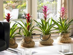 yes, the Bormelias are cute - but LOVE the tiny pots they're in.  ~~~~~~~~ Bromelia