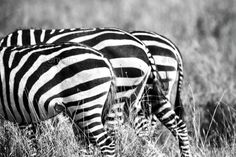 Close up of zebra rear ends in Africa by kjekol. Black and white zebra butts at the savannah in Serengeti Tanzania, Africa.