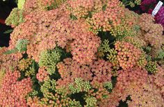 Achillea millefolium 'Peachy Seduction' Zone 7 large clusters of soft peach-pink flowers. It blooms for a solid month or two in mid-summer and longer, if deadheaded. attracts butterflies, and is deer resistant. Its soft colors work well with orange, rose, yellow, blue, and lavender