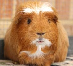 hello I'm the guinea pig king.
