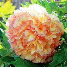 15pcs/ peony seeds. Paeonia suffruticosa Mix colors flower seeds for garden plant peony flower seeds Tree Peony Seeds