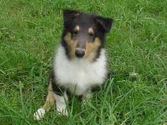 Image result for rough collie puppies
