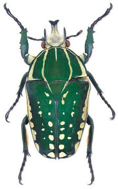 Most people refer to the beetles as ugly,repulsive and nightmare creatures. If you take the time to watch them, knowing they are harmless, you'll stop despising them.