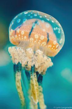 """Unterwasser-Fotografie - Orange getupft Quallen Unterwasser Ozean Druck Quallen Kunst türkis blauen Wanddekor 5 x 7 8 x 10 16 x 24 """"Side-Kick Orange Things orange order Jellyfish Drawing, Jellyfish Painting, Watercolor Jellyfish, Jellyfish Tattoo, Tattoo Watercolor, Jellyfish Quotes, Jellyfish Sting, Jellyfish Aquarium, Colorful Jellyfish"""