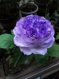 Purple Flowers, Paper Flowers, Planting Flowers, Nature Photography, Beautiful, Garden, Plants, Twitter, Exotic Flowers
