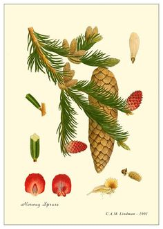 Picea abies - Norway Spruce - Christmas Tree.