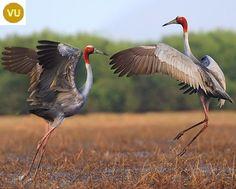 https://www.facebook.com/WonderBirds-171150349611448/ Sếu Sarus/Sếu cổ trụi/Sếu đầu đỏ; Họ Sếu-Gruidae; tiểu lục địa Ấn Độ, Đông Nam Á và Úc || Sarus crane (Grus antigone); IUCN Red List of Threatened Species 3.1 : Vulnerable (VU)(Loài sắp nguy cấp)