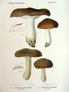1910 Vintage color lithograph of mushrooms by LyraNebulaPrints, $29.95