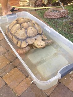 Kingsley Sulcatta Tortoise taking  a bath