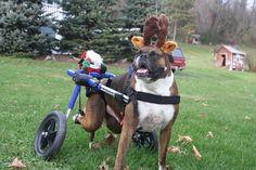 """I love, love, love my calendar girl.."" Handicapped Pets: Wheelchair Dog Will Be Calendar Girl"