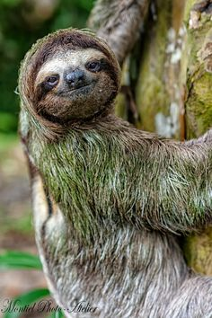 Oso Perezoso / Sloth by Alejandro Montiel on 500px
