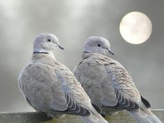 Ring neck turtle doves