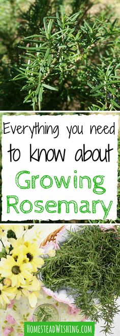 When I first started growing rosemary, I had a hard time. In fact, I killed a few plants at first. Trial and error showed me the way, now I'll show you! | Homestead Wishing, Author Kristi Wheeler | http://homesteadwishing.com/growing-rosemary/ | growing-r