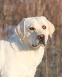 white lab | ... white & cream yellow Lab white Labrador puppy white Labradors white