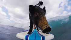 GoPro Video of Kamu the Surfing Pig Catching Waves in Oahu, Hawaii
