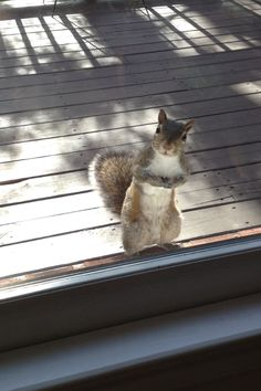 """Every morning my grandmother feeds this squirrel a peanut, so every morning it shows up at her door. This was him today."""