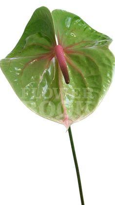 Anthurium Verino