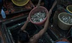 Unloading trashfish at Ranong port, Thailand