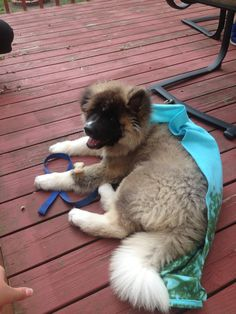 puppy long haired akita