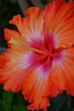 Hibiscus Plant, Hibiscus Flowers, Tropical Flowers, Cactus Flower, Unusual Flowers, Most Beautiful Flowers, All Flowers, Orange Flowers, Ideas