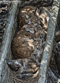 Sleeping family of Lynx. I love how the moms head is curled up under the dad! So cute!