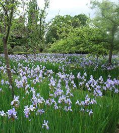 Iris sibirica Papillon