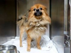 SUPER URGENT 1/5/15 Manhattan Center   SAMMY - A1024689   NEUTERED MALE, TAN / BLACK, POMERANIAN MIX, 8 yrs OWNER SUR - ONHOLDHERE, HOLD FOR ID Reason NO TIME  Intake condition GERIATRIC Intake Date 01/04/2015, From NY 10034, DueOut Date 01/11/2015,