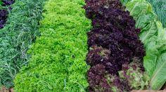 """Среди всех огородных культур зеленные считаются """"пионерами"""". Поэтому именно они появляются на рынке прежде всех других. Когда и как посадить лук, салат, укроп, петрушку и кориандр, чтобы они взошли как можно раньше?"""