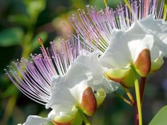 Caper flower (Capparis spinosa)