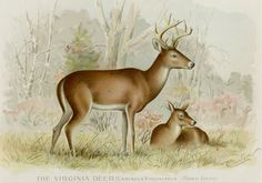 """1895 Virginia Deer Print by Sherman F. Denton First Edition Antique Chromolithograph - Matted 12x16"""" - Buck Doe Deer Wall Art by AntiquePrintBoutique on Etsy"""