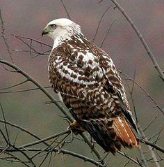 Bald Eagles and Hawks Compatible with Management