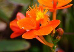 Orange Flower Epidendrum