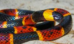 Coral Snake - How to identify poisonous snakes