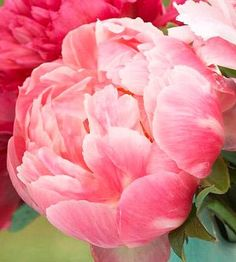 Growing tips for peonies.