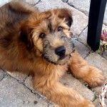 wheaten terrior  beagle mix   Soft Coated Wheaten Terriers Dogs Guiness » Black Soft Coated Wheaten ...