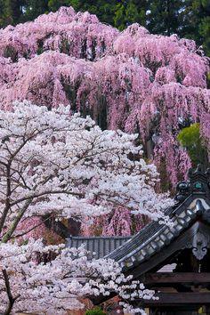 Cherry tree in full bloom, Japan